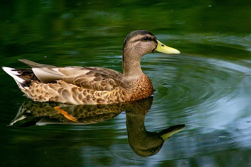 A Close-Up Shot of a Duck on the Water