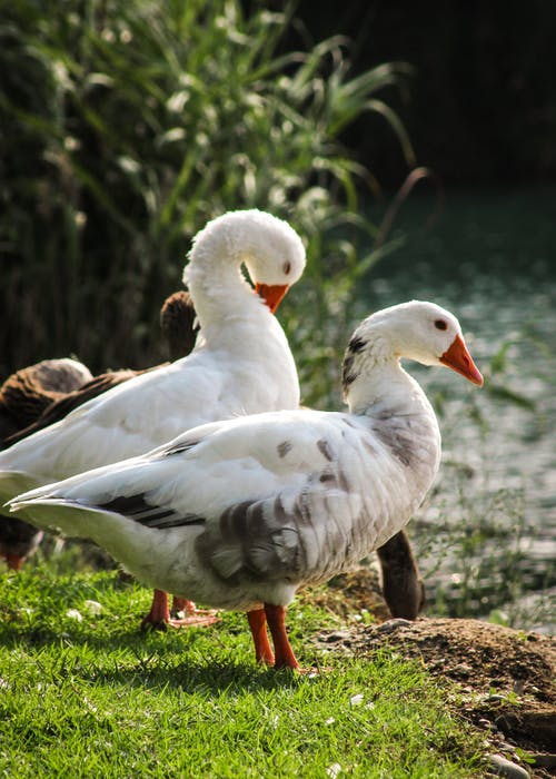 A Close-Up Shot of Geese