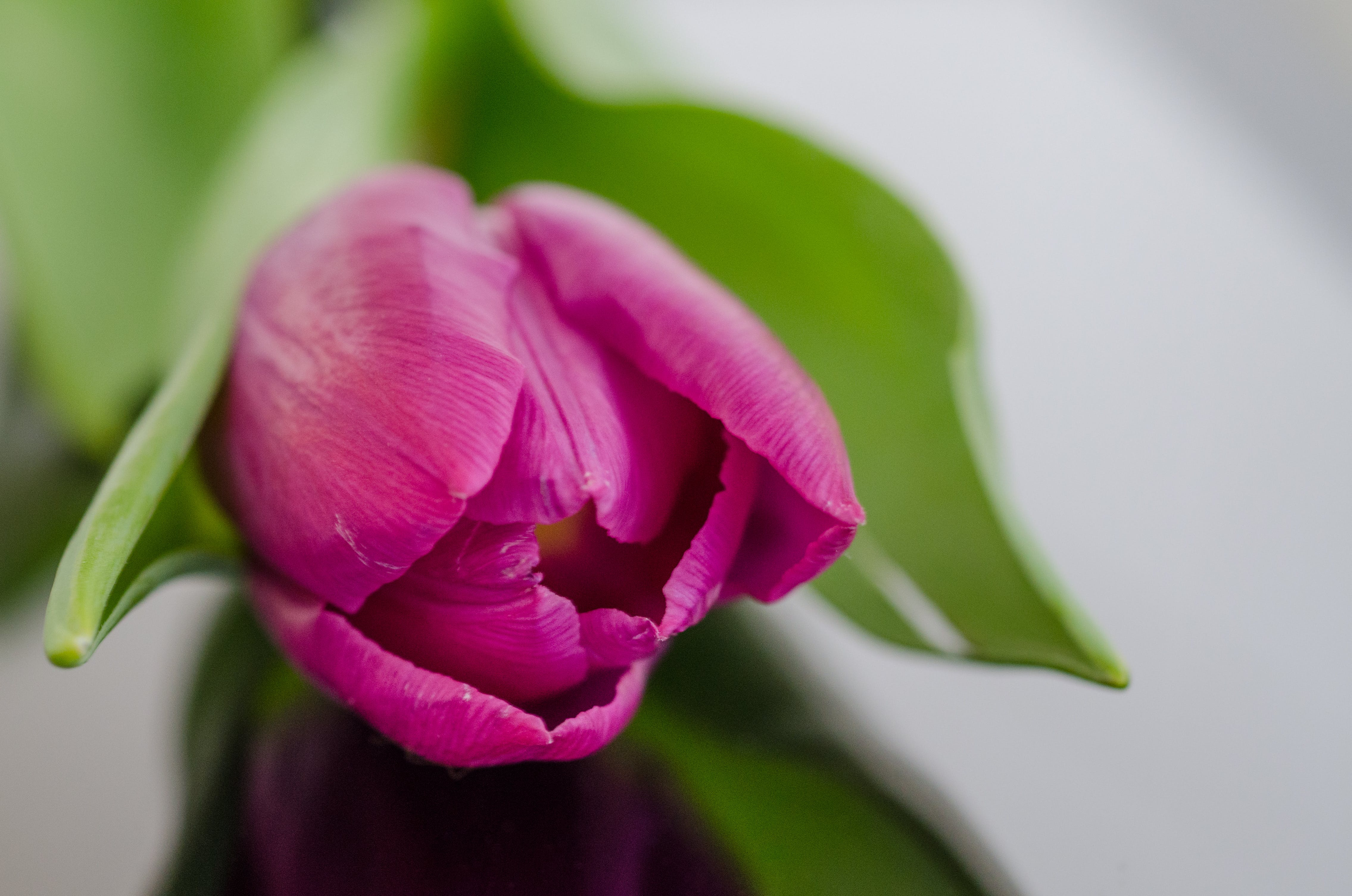 Selective Focus Photography of Pink Tulip