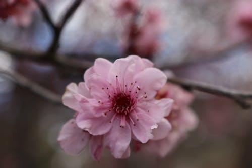 Безкоштовне стокове фото на тему «вишневий цвіт, вишневі квіти, рожева квітка, рожеві квіти»