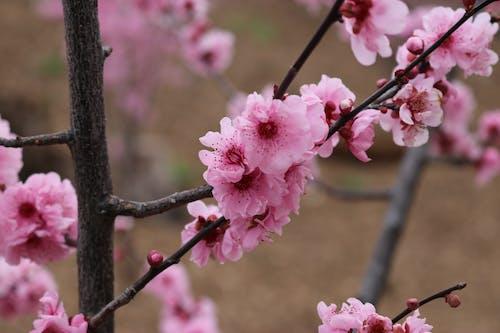 Безкоштовне стокове фото на тему «вишневий цвіт, Вишня, квітник, рожеві квіти»