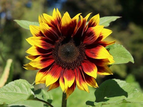 Безкоштовне стокове фото на тему «домашній сад, квіти, сади, Соняшник»