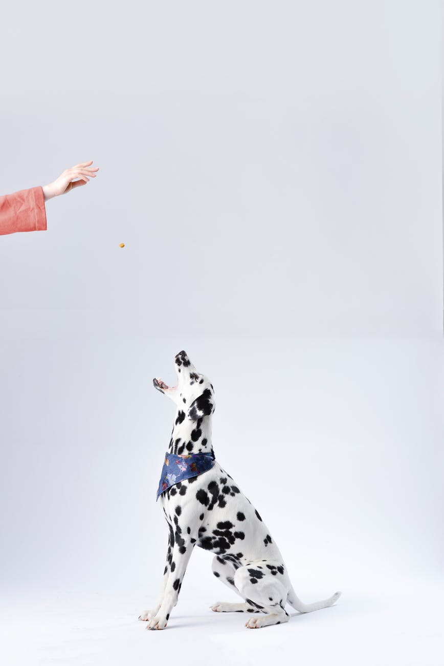 person giving a dalmatian a doggie treat
