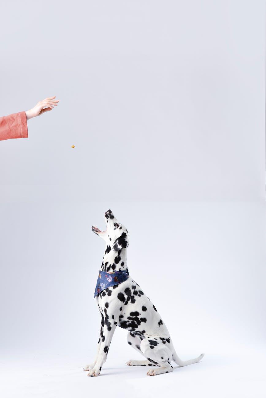 person giving a dalmatian a doggie treat