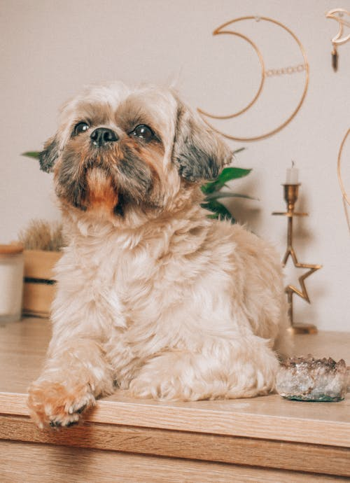 White and Brown Shih Tzu Sitting on a Wooden Surface
