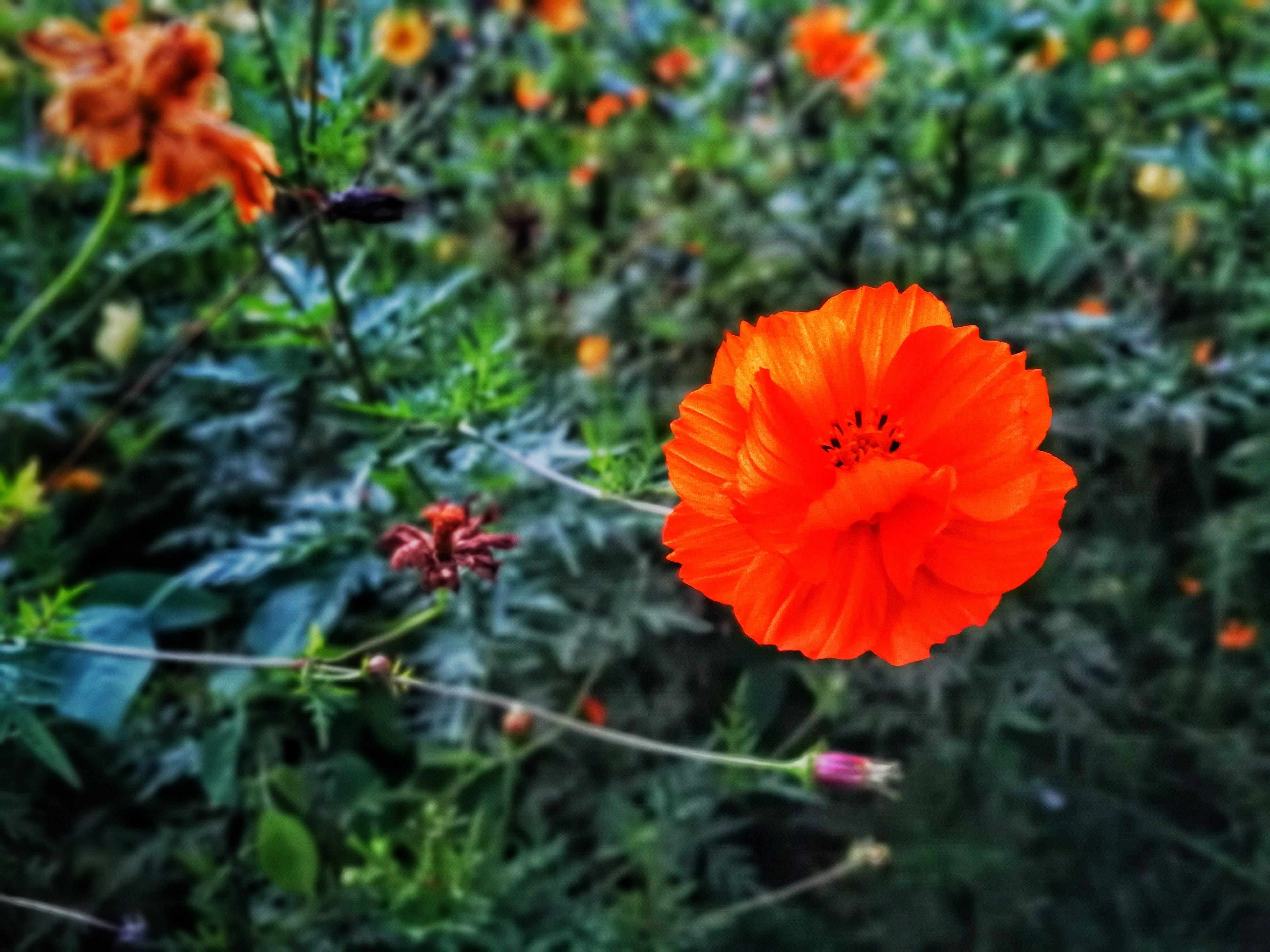Free stock photo of #outdoorchallenge, beautiful flowers, fields, flower field