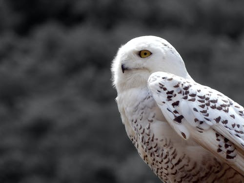 Close-Up Photo of a White Snowy Owl