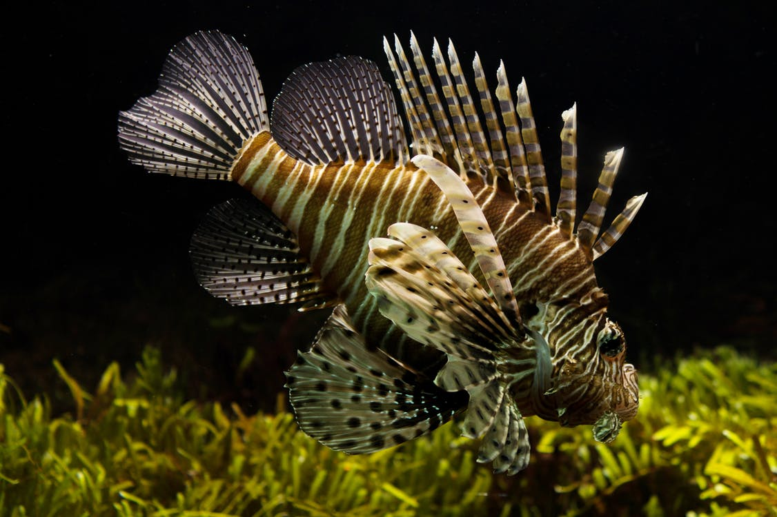 Close-up Photography of Brown and Beige Lion Fish