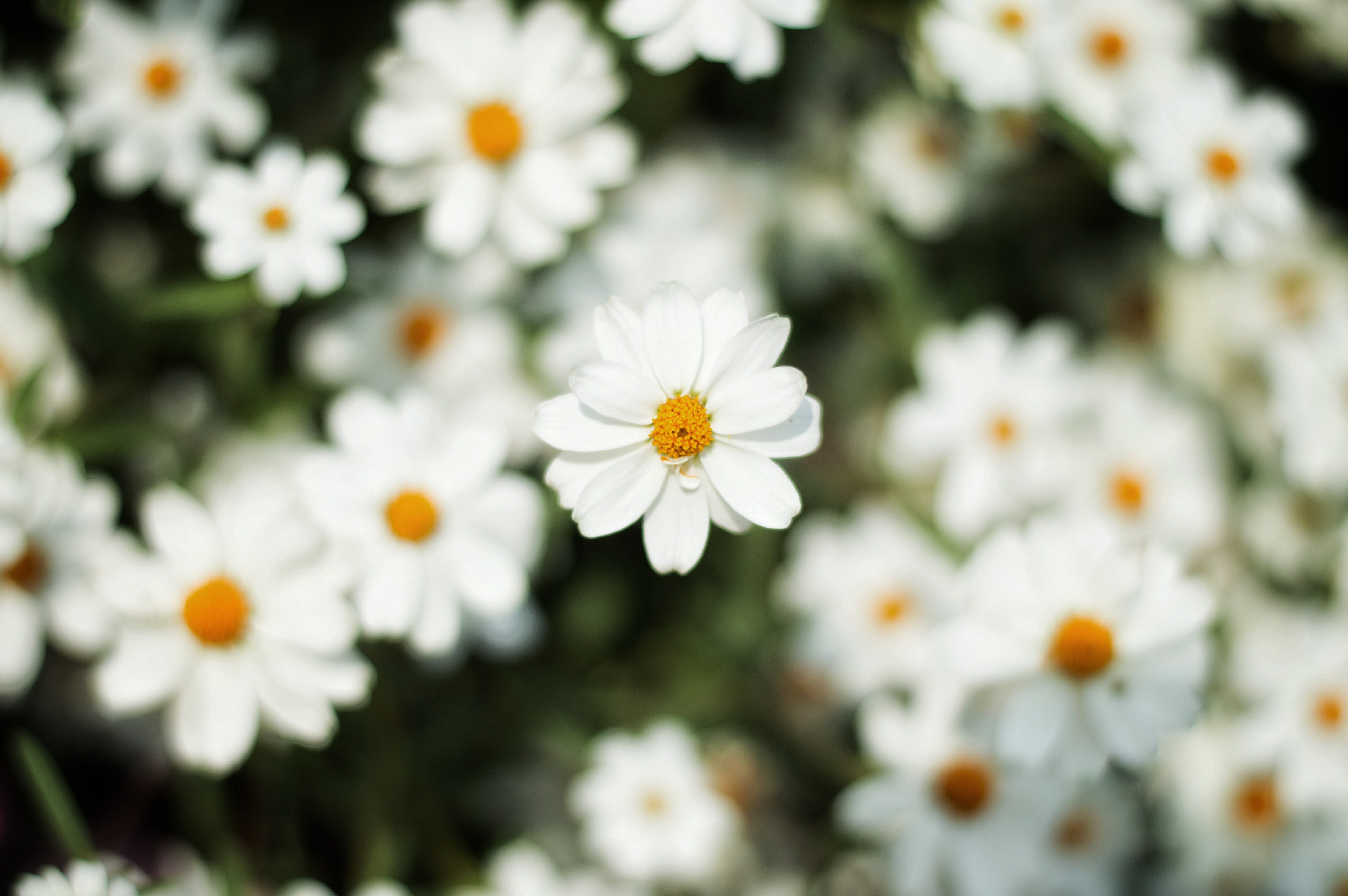 Close-Up Photography of White Daisy