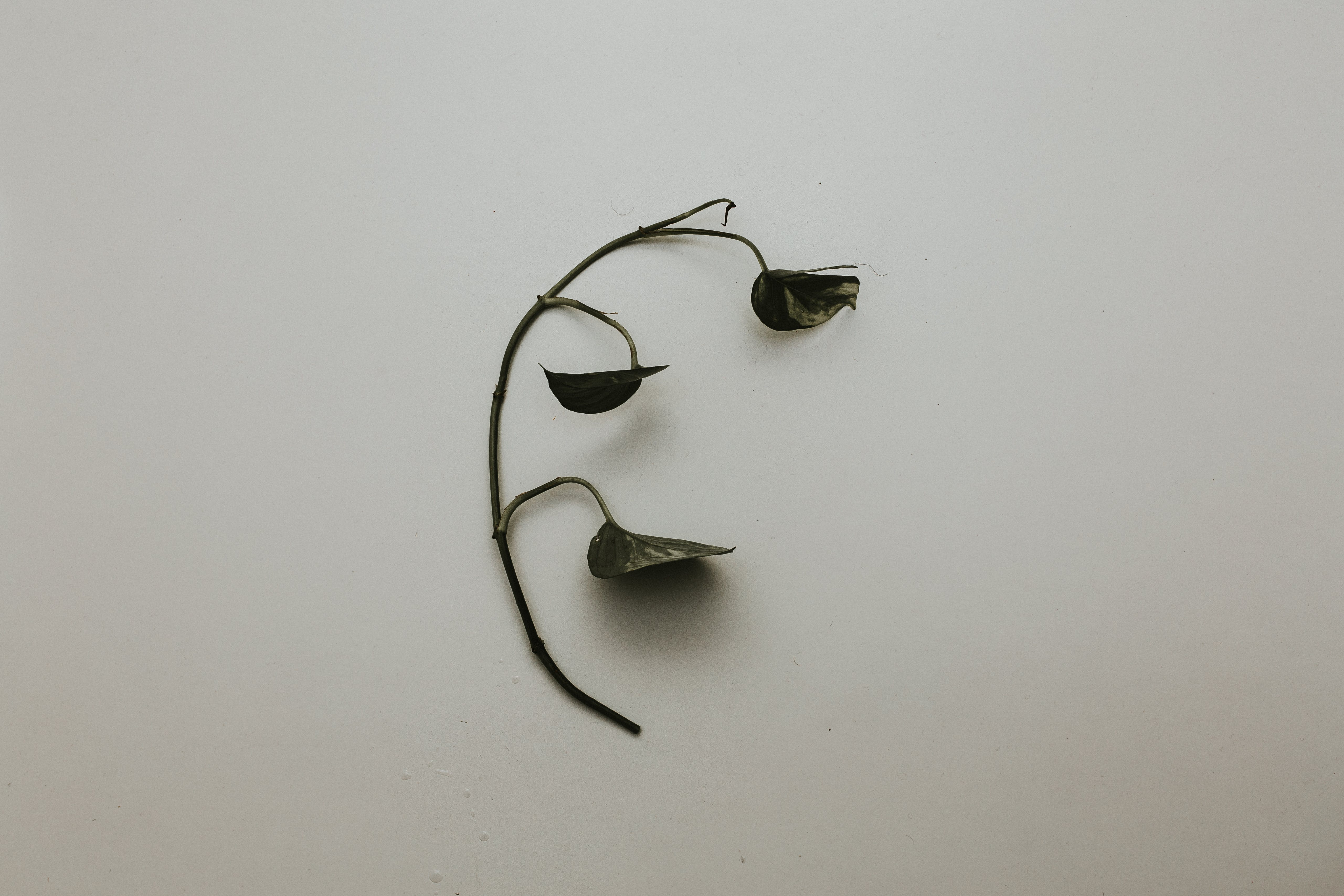 Black Leaf With Branch on White Painted Wall
