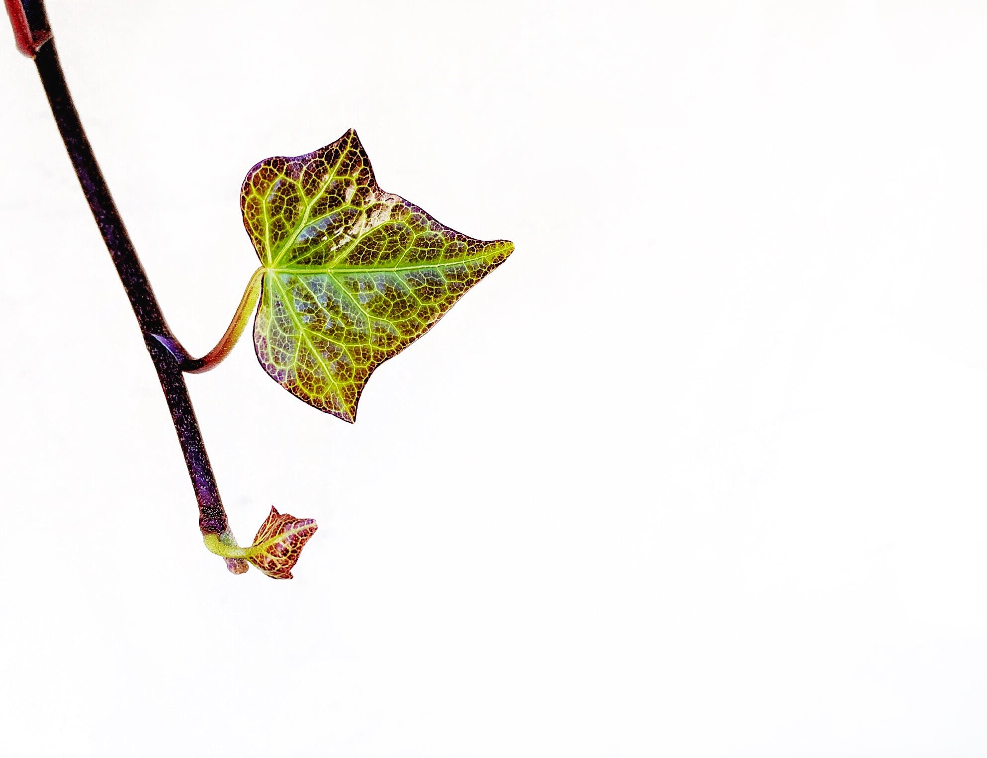 Kostenloses Stock Foto zu #bleibt #closeup #natur #plant #minimalismus