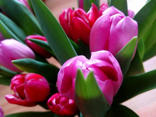Close-Up Photography of Tulips