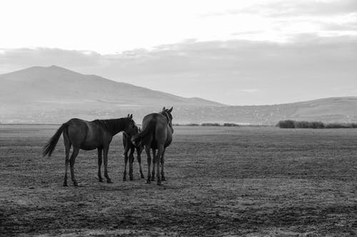 Grayscale Photo of Three Horses on a Grass Field