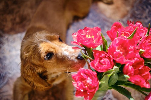 Close-Up Photo of a Golden Retriever Smelling Pink Flowers