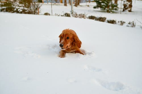Cute Golden Retriever Puppy Covered in Snow