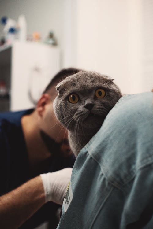 Selective Focus Photo of a Scared Scottish Fold Cat at the Veterinary