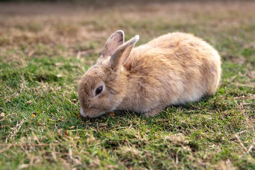 Brown Bunny on Green Grass