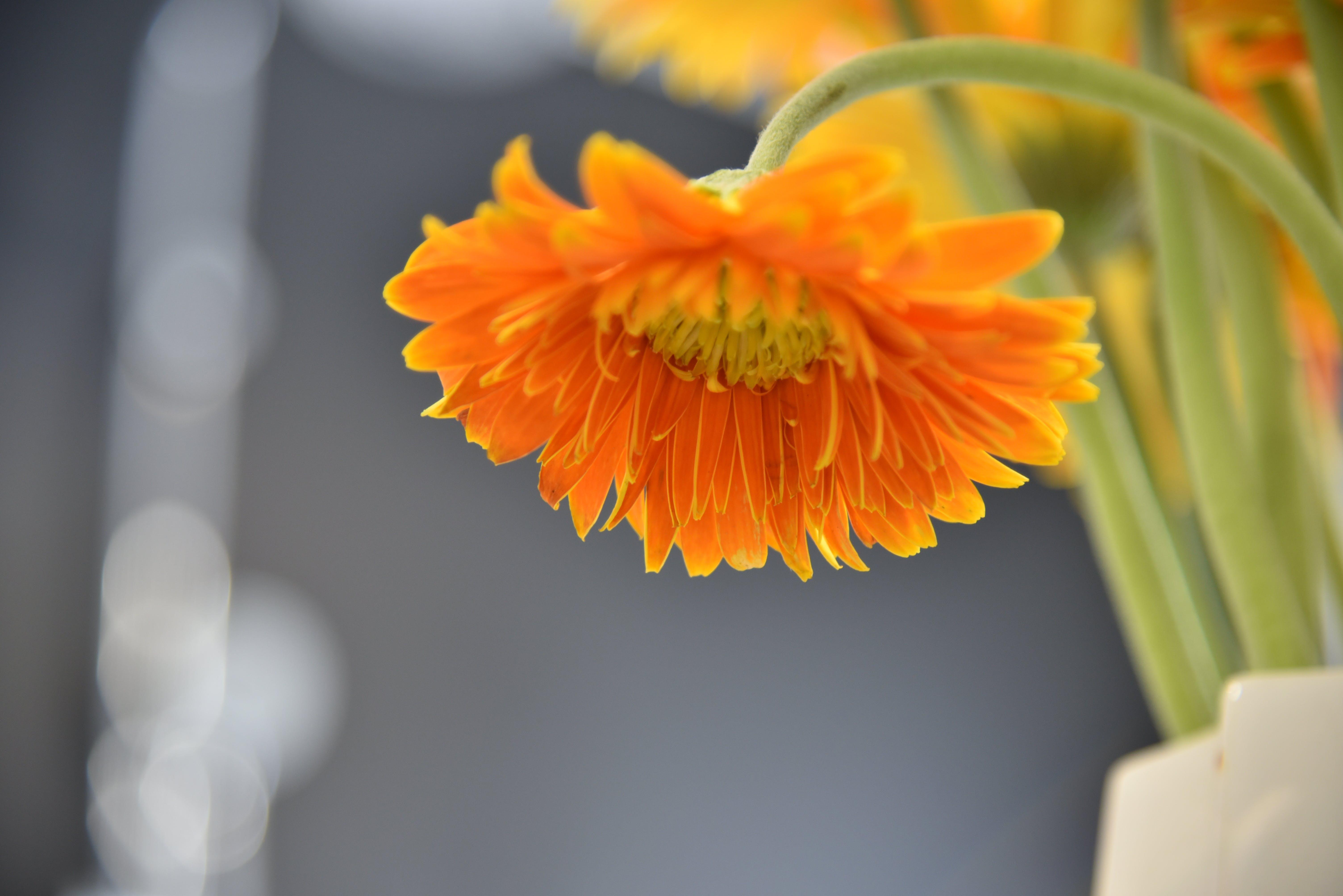 Orange Daisy Flower Selective Focus Photography
