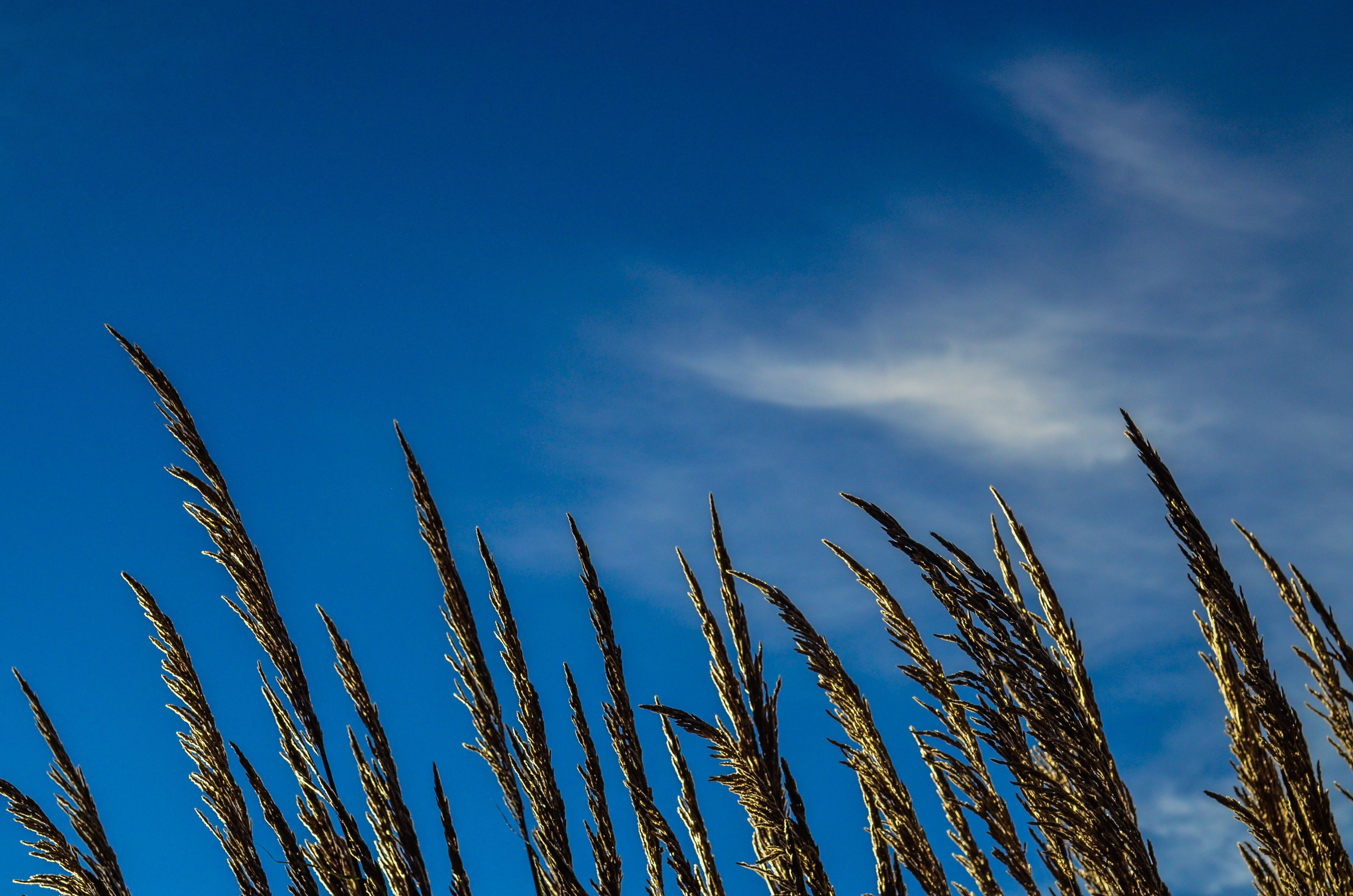 Green Wheat Under Clear Blue Sky