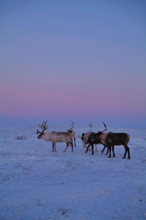 Three Brown Deer on Snow Covered Ground