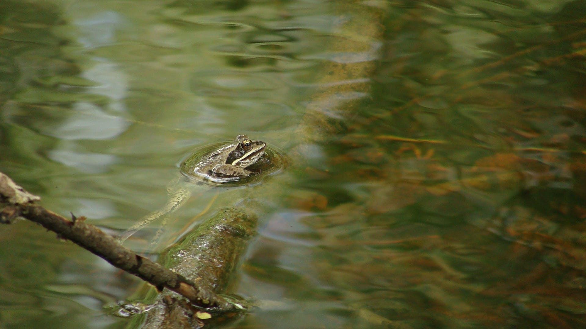 Kostenloses Stock Foto zu ast, beine, frosch, schwimmen