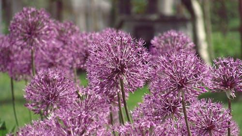 Fotobanka sbezplatnými fotkami na tému cesnak, cesnakový kvet, divoký cesnak, divý