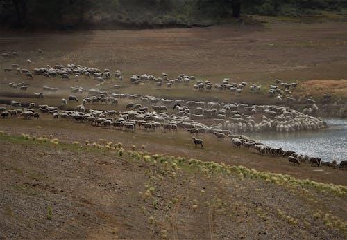 Безкоштовне стокове фото на тему «вівці, вівця, водовідвід»