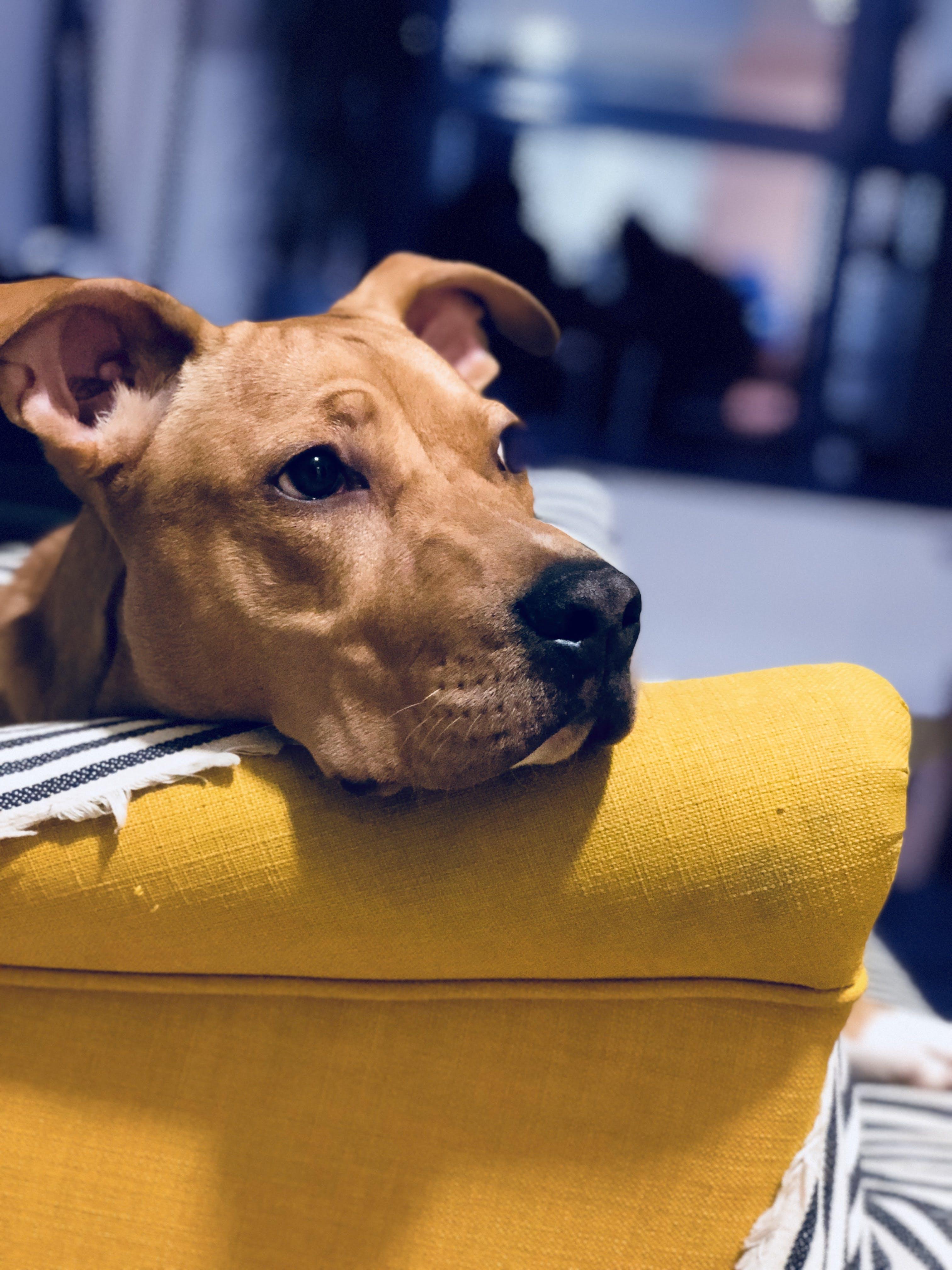 Kostenloses Stock Foto zu betrübt, häuslich, haustier, hund