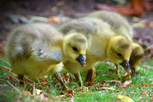 Free stock photo of baby birds, duck, ducklings