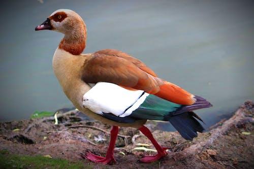 Free stock photo of bird, duck, pond