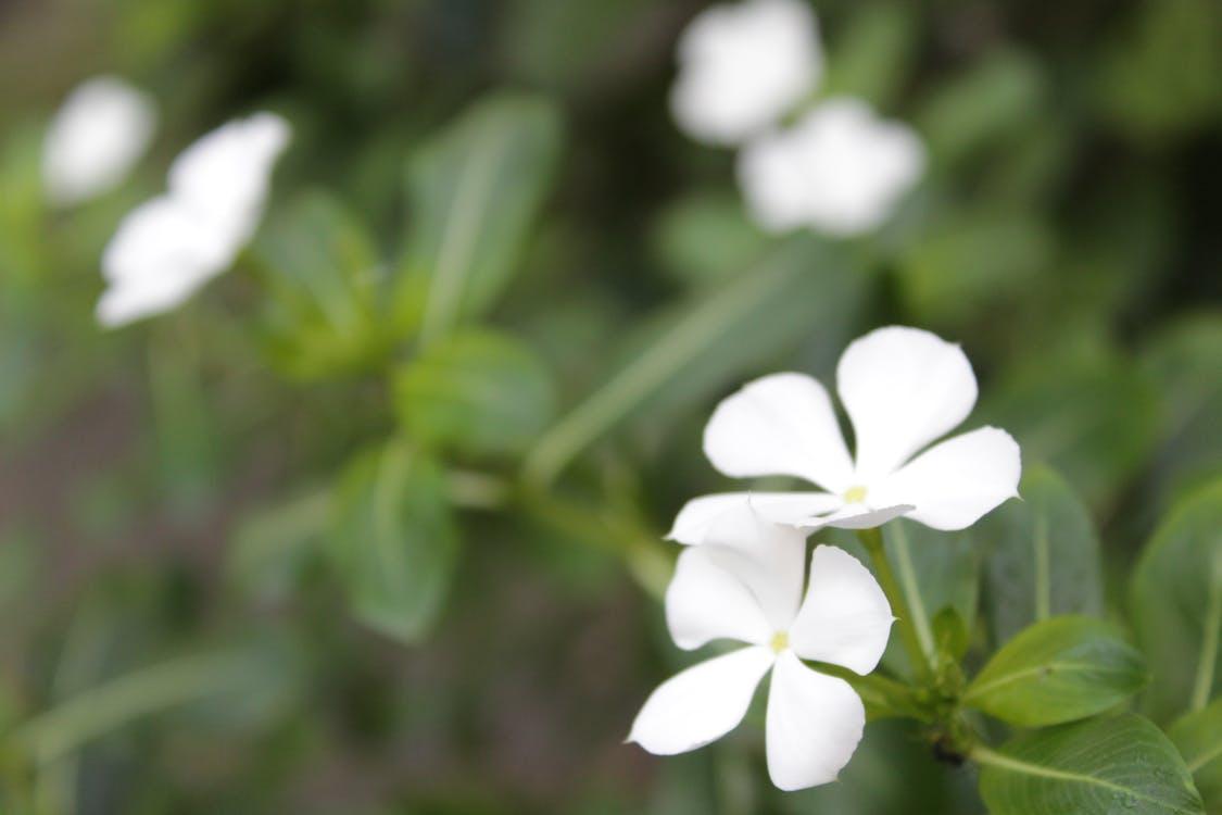 Free stock photo of catharanthus roseus, flower, madagascar periwinkle