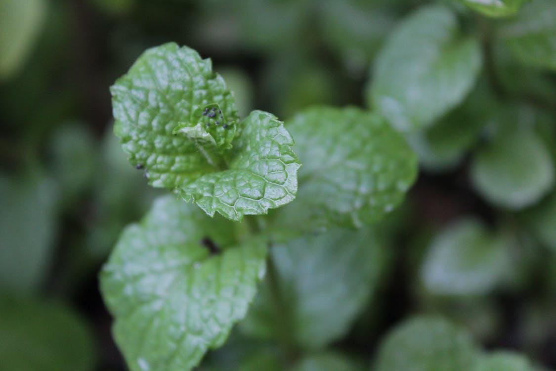 Free stock photo of green leaf, mentha, mentha leaf