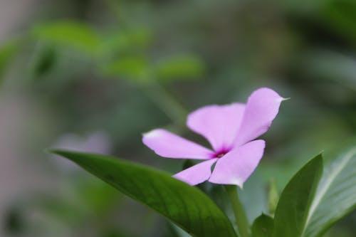 Free stock photo of apocynaceae, Catharanthus roseus, flower