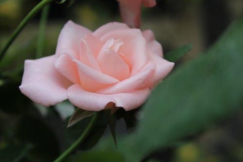Foto d'estoc gratuïta de bella rosa, flor, flor bonica