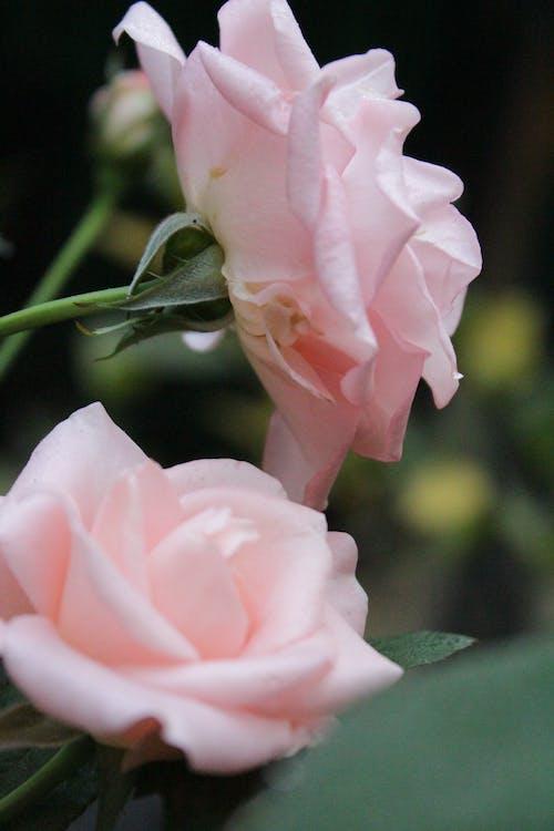 Ilmainen kuvapankkikuva tunnisteilla kukka, pinkit kukat, pinkit ruusut