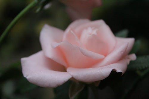Foto d'estoc gratuïta de bella rosa rosa, flor, flor bonica