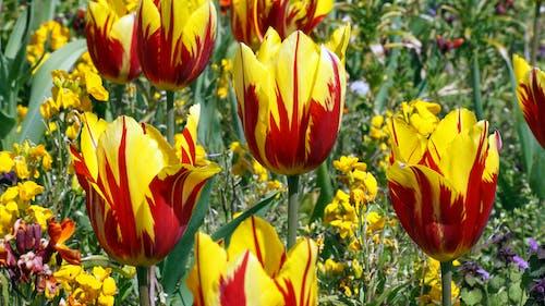 Ảnh lưu trữ miễn phí về Hoa tulip, màu vàng, màu đỏ