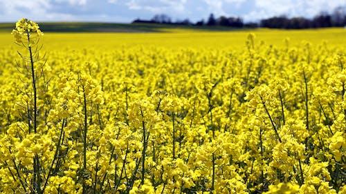 Ảnh lưu trữ miễn phí về cánh đồng, màu vàng, nông trại