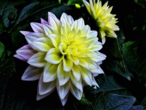 Základová fotografie zdarma na téma bílá květina, fotografie přírody, krásné květiny, krásný