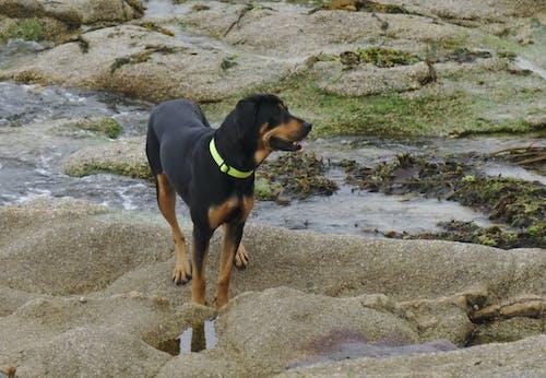 Photos gratuites de animal, animalier, beauceron, canin