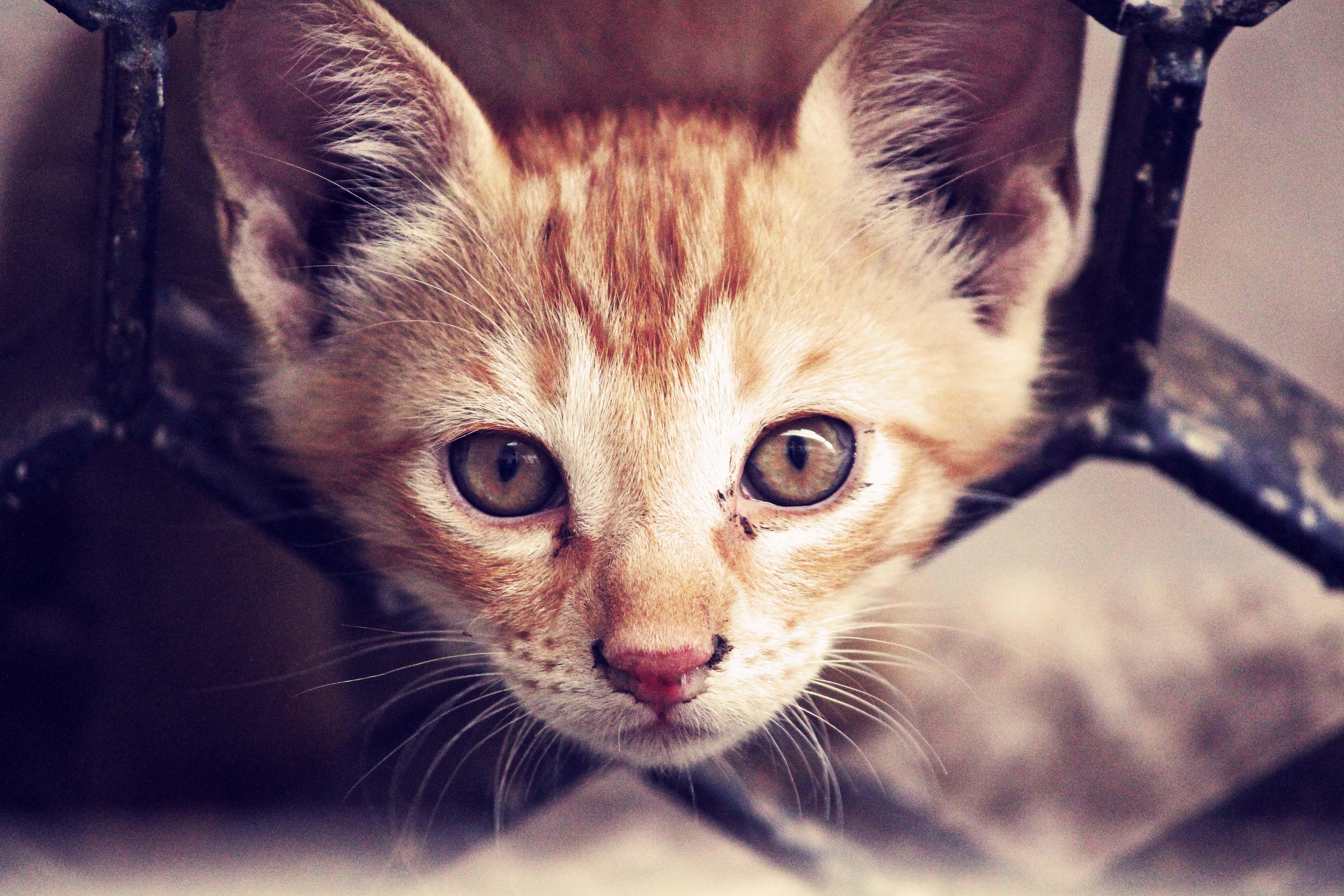 Short-fur Orange Kitten