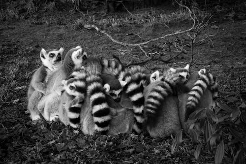 Ingyenes stockfotó állatok, emlősök, fekete-fehér, gyűrűs farkú citrom témában