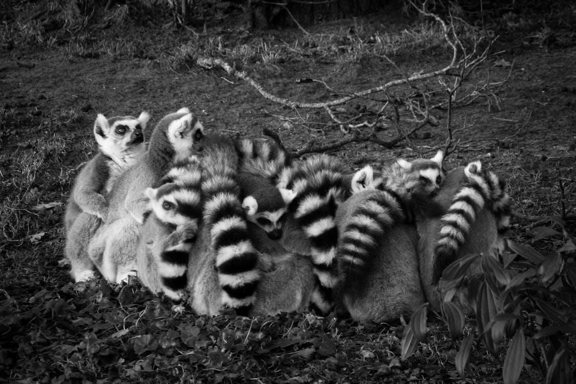 eläimet, lakkiaiset, lemur catta
