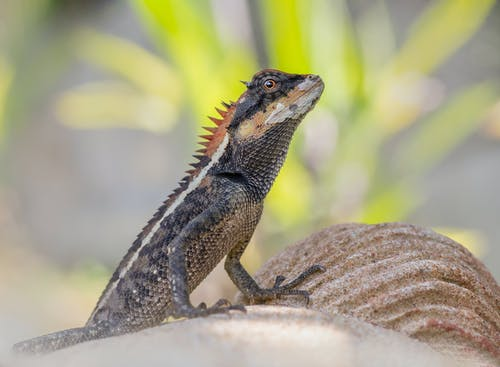 Brown and Black Bearded Dragon on Gray Rock
