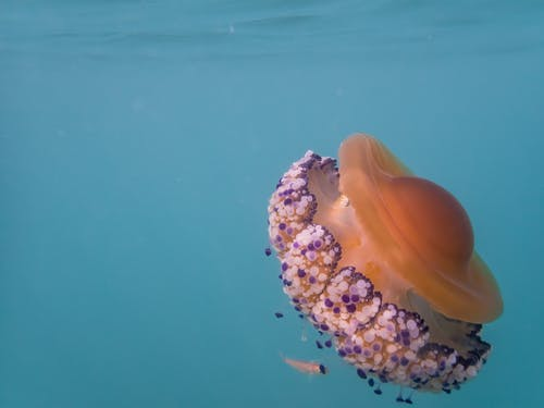 White and Purple Tentacles of a Jellyfish