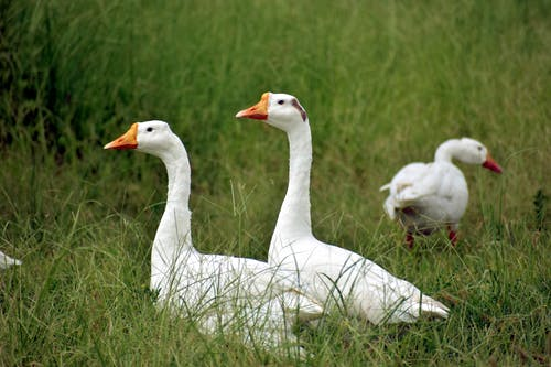 Close-Up Photo of Geese on the Grass