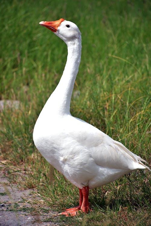 Photo of a White Goose Near Green Grass
