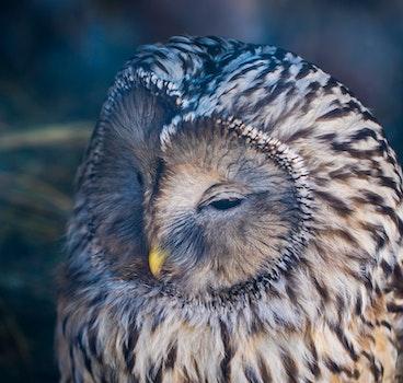Free stock photo of bird, zoo, owl, feathers