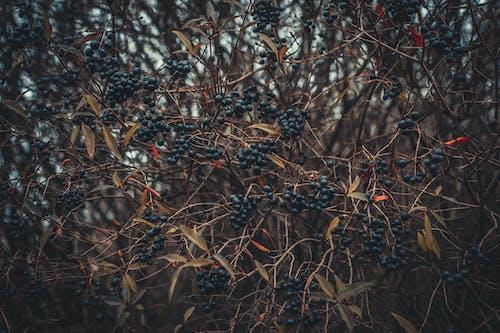 Kostnadsfri bild av atmosfärisk, bär, björnbär, buskar