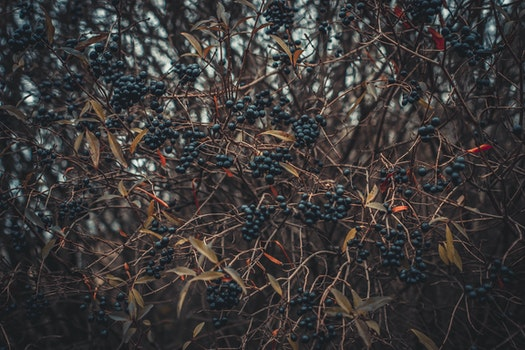 Selective Focus of Berries